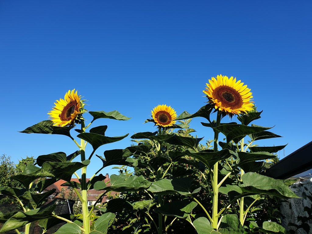 Endlich strahlen die Sonnenblumen