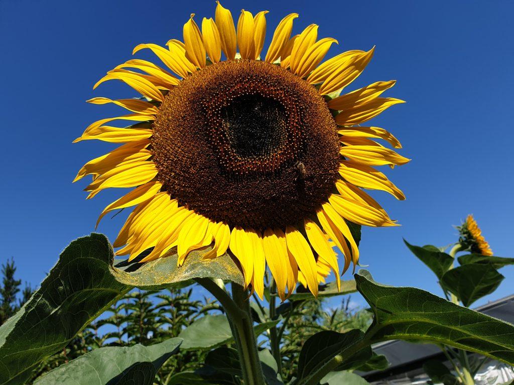 Deinen Träumen reckt sich auch die Sonnenblume entgegen.