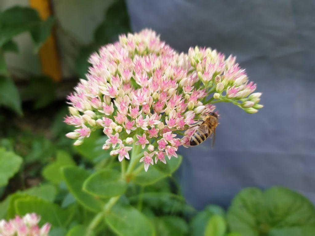 Blüten zu jeder Jahreszeit - im Spätsommer strahlt die Hohe Fetthenne und die Bienen freuen sich.