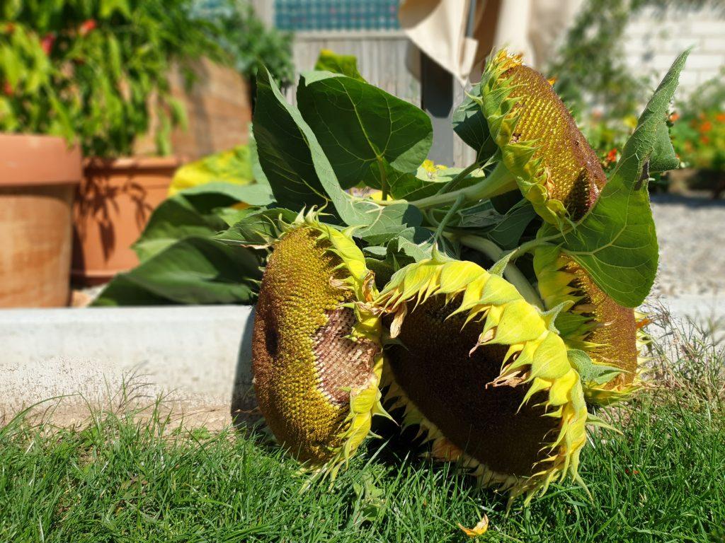 Die Sonnenblumen nach der Ernte. Leider hielten sie dem Wind nicht stand. Dafür dürfen sich jetzt die Vögel satt futtern für den Winter.