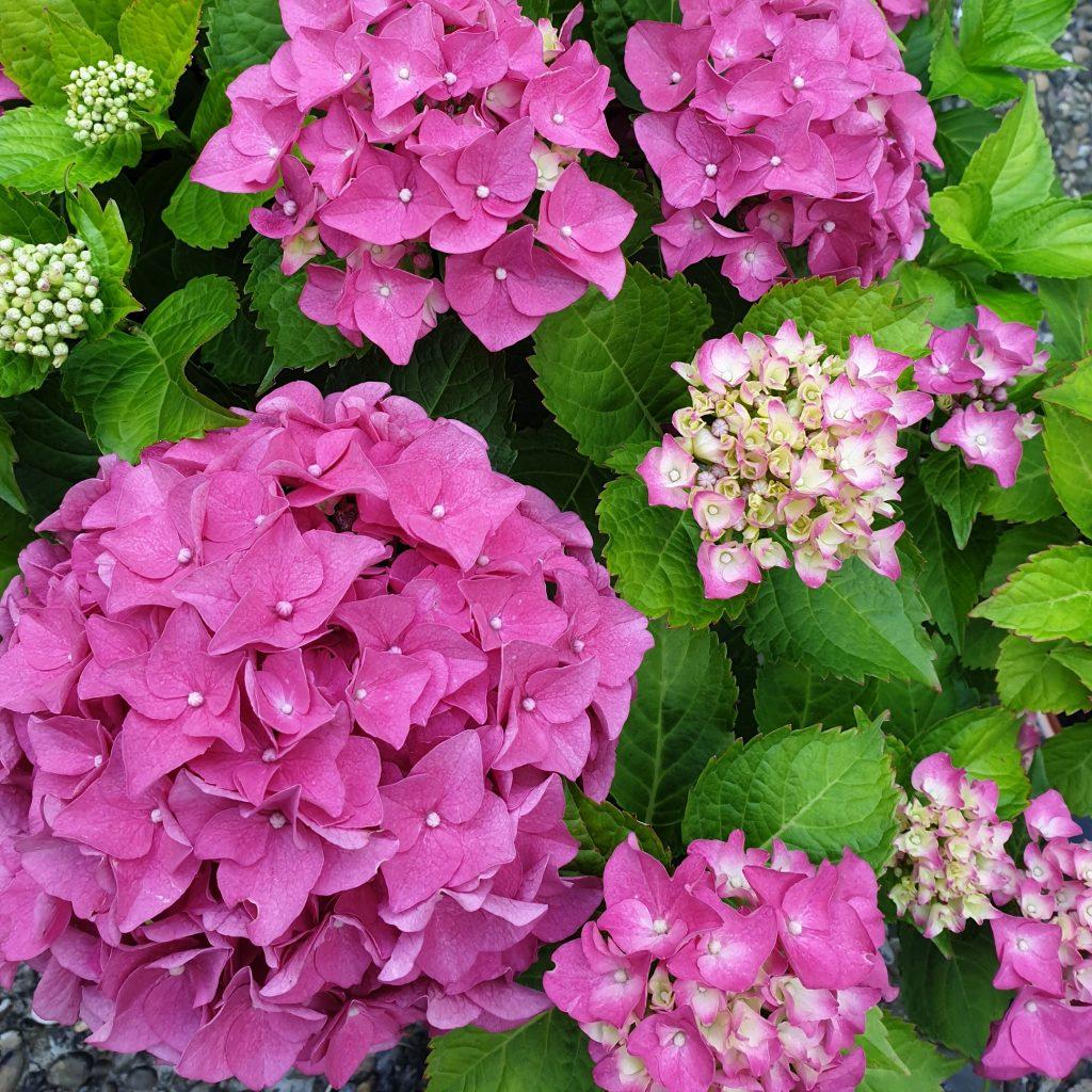 Bauern-Hortensie in pink