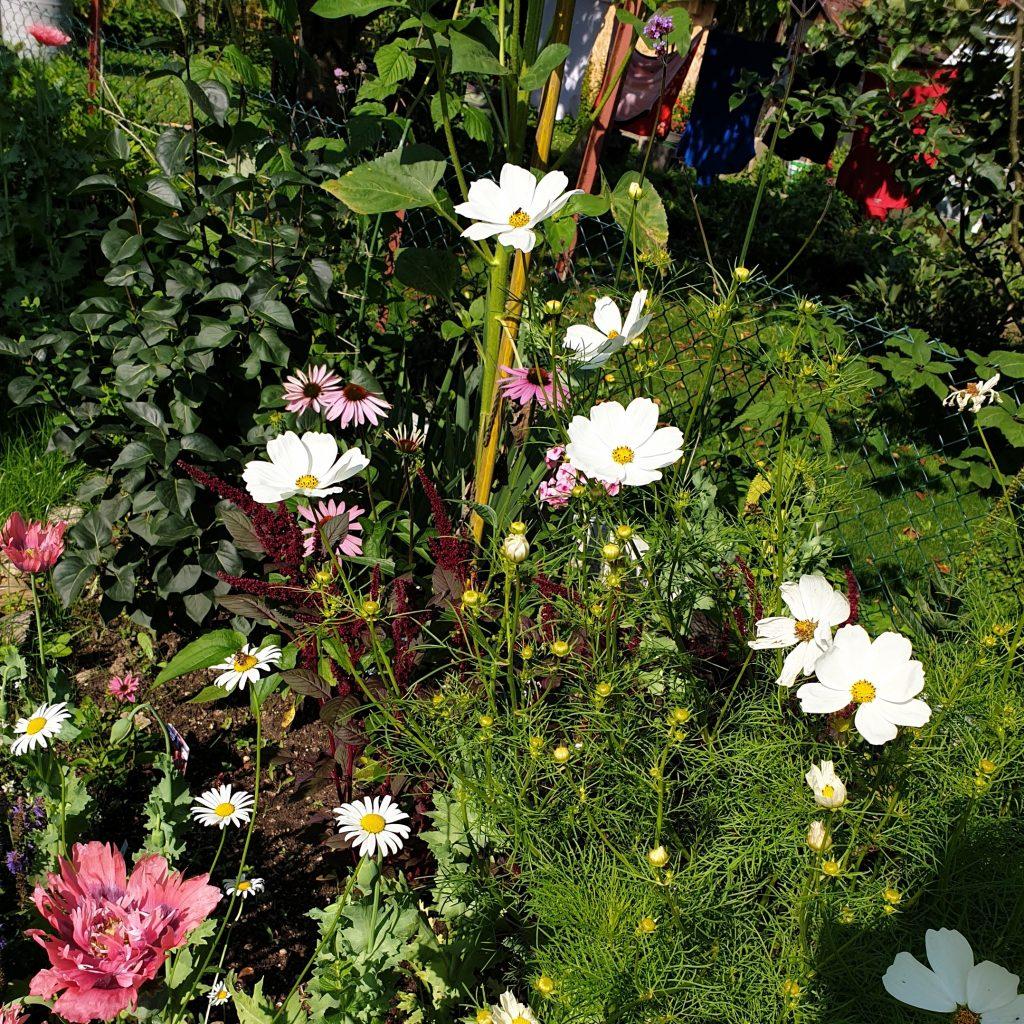 Gartenglück: Cosmea - Schmuckkörbchen in weiß