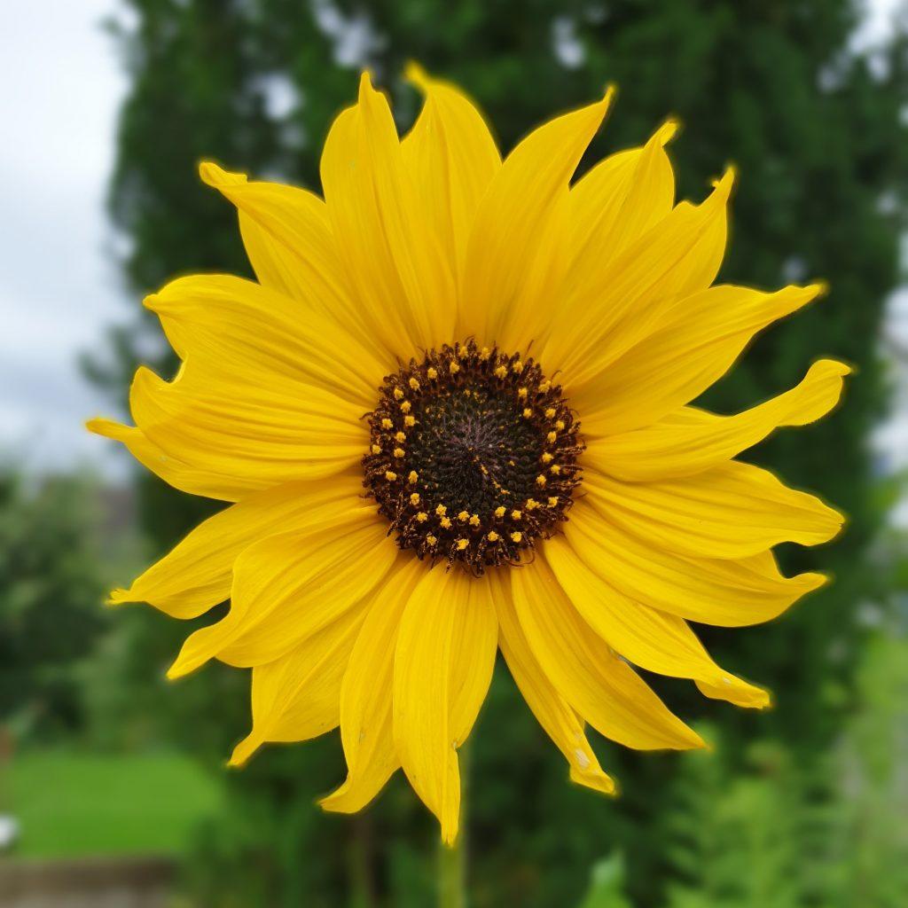 Gartenglück weil Sonnengruß: Kleine Sonnenblume