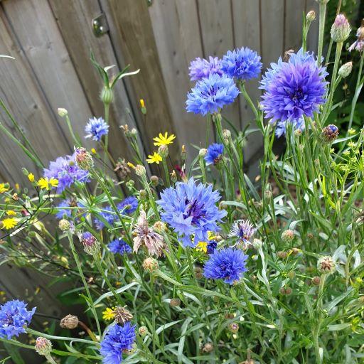 GArtenglück aus der Tüte: Kornblumen - Sommerblumen und herrliches Insektenfutter