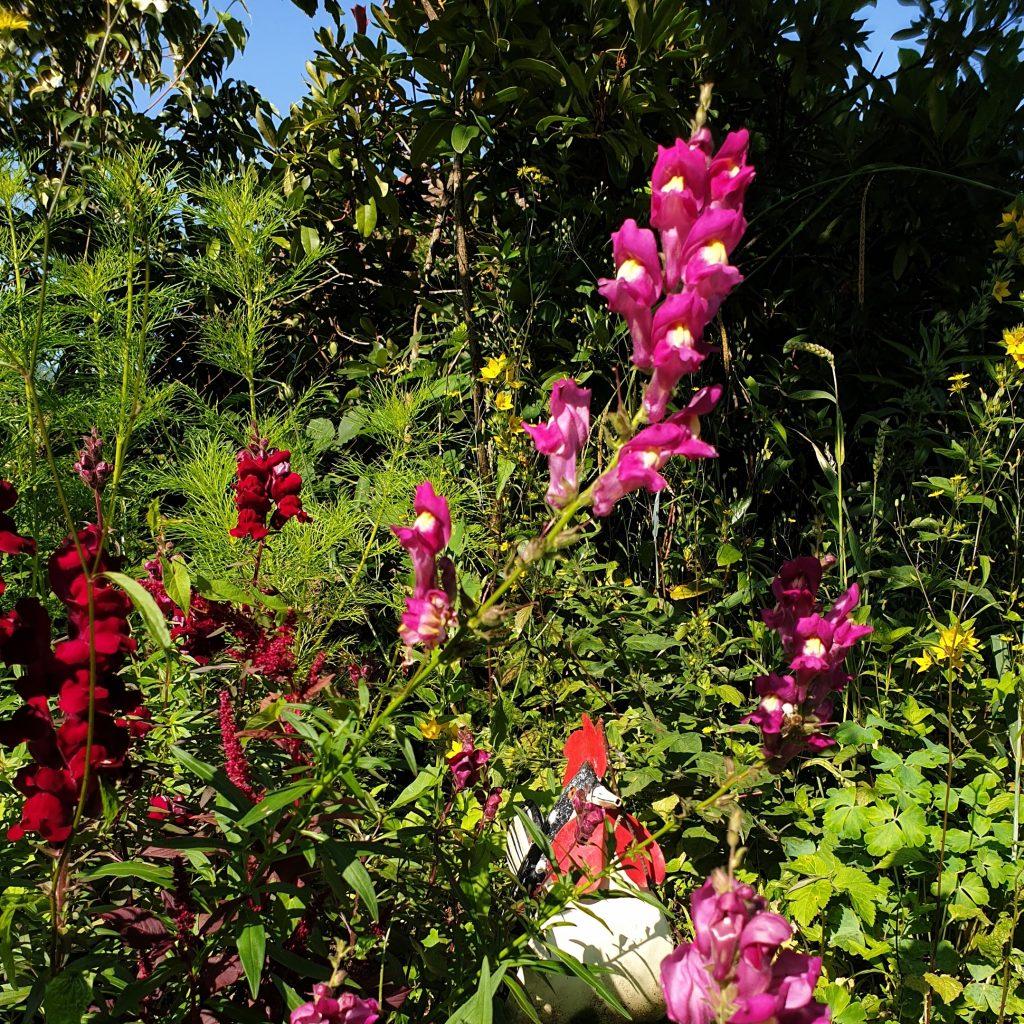 Löwenmäulchen - Sommerblumen selbst gezogen in zwei Schattierungen