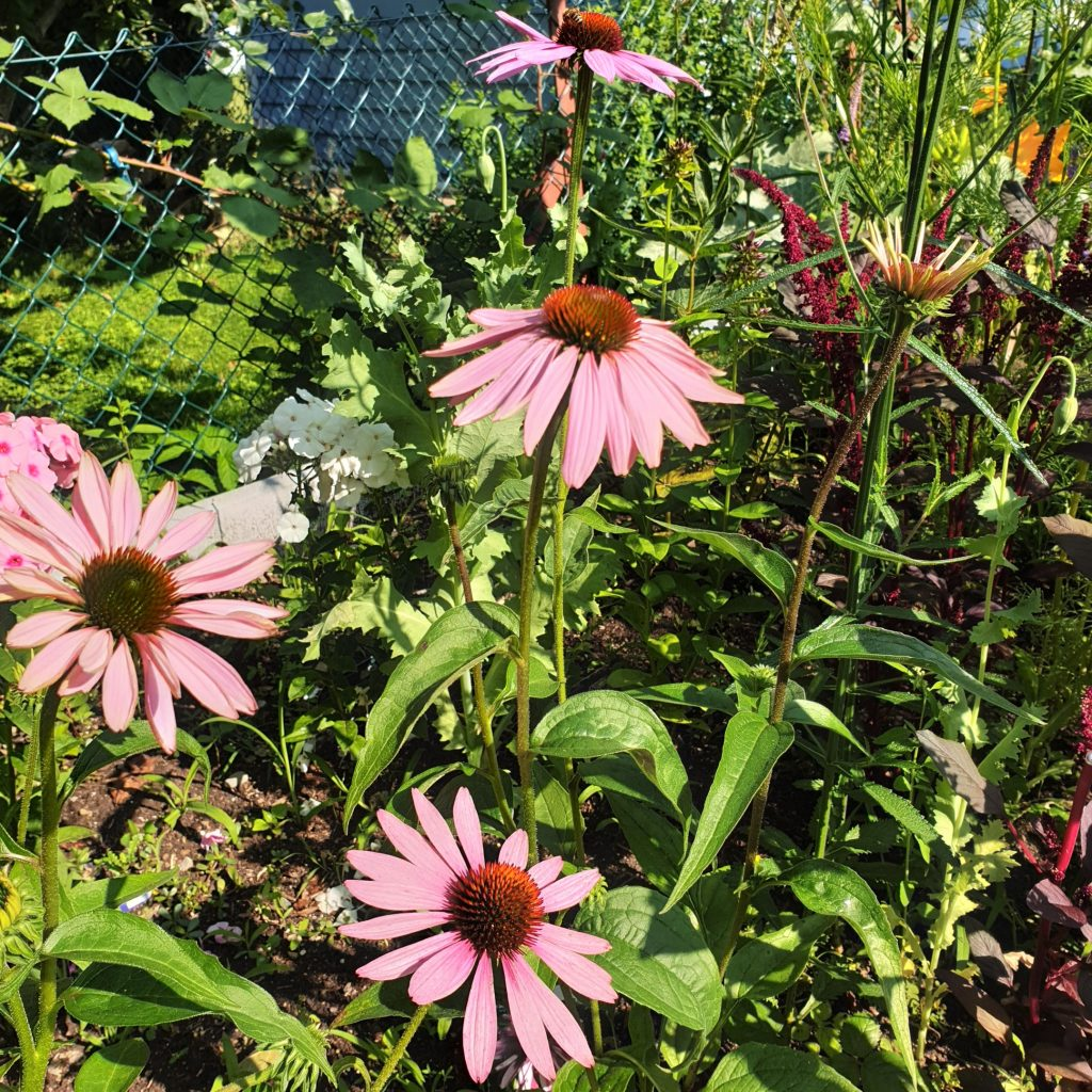 Sonnenhut, Schein-Sonnenhut, Echinacea