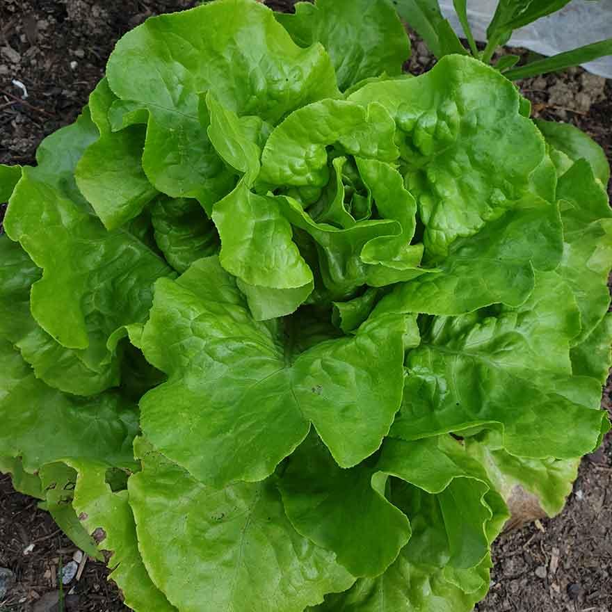 Kopfsalat Lucinde von Bingenheimer im Gemüsegarten - Gartenrückblick 2021