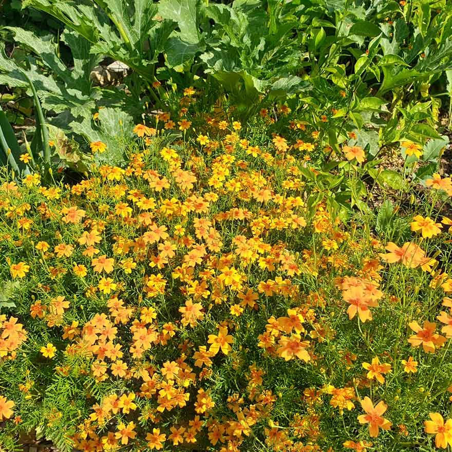 Tagetes - Studentenblumen helfen gegen die kleinen gefräsigen Schnecken
